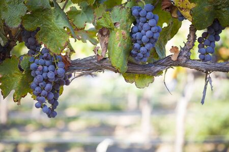 napa: Vineyard with Lush, Ripe Wine Grapes on the Vine Ready for Harvest