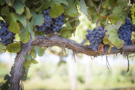 vi�edo: Vi�edo con uvas maduras exuberantes, vino en la vid listo para la cosecha
