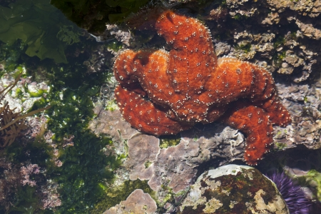Beautiful Orange Starfish in Shallow Tide Pool. photo