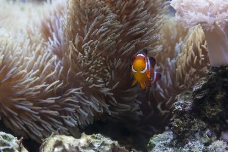 Beautiful Little Clownfish and Sea Anemone. Stock Photo - 20302833
