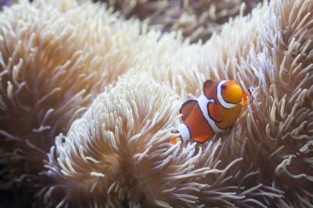 Beautiful Little Clownfish and Sea Anemone. Stock Photo - 20295303