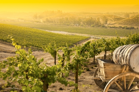 Grape Vineyard with Vintage Barrel Carriage Wagon