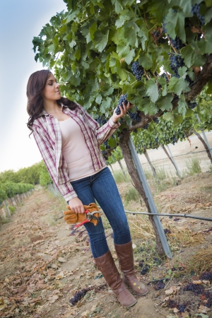 Young Mixed Race Female Farmer Inspecting the Wine Grapes in the Vineyard. photo