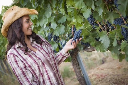 working cowboy: Young Mixed Race Adult Female Farmer Inspecting Grapes in the Vineyard. Stock Photo