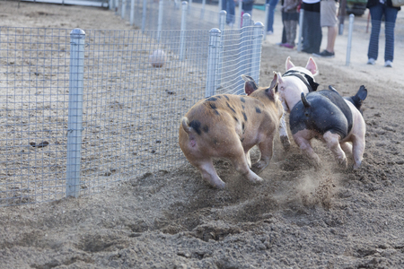 sawdust: A Fun Day at the Little Pig Races – Cute Pigs Running Around a Track.  Stock Photo