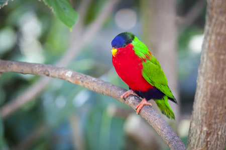 Collared Lory of the Fiji Islands on a Branch. Stock Photo
