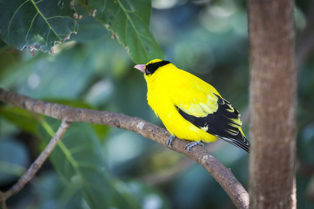 oriole: Black-naped Oriole of Eastern Asia on a Tree Branch.