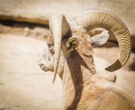 ewes: Desert Bighorn Sheep on the Hillside.