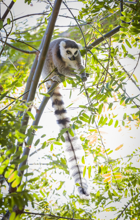 tailed: The Rare Lemur Feeding up in the Trees. Stock Photo