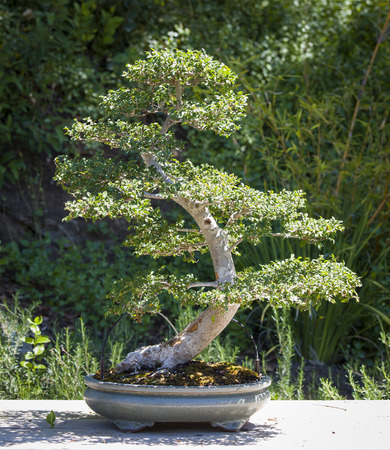 Beautiful Elm Bonsai Tree on Display Outside. photo