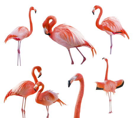 Collection of Beatiful Flamingos Isolated on a White Background  photo