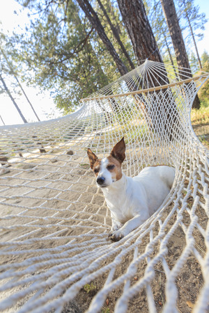 restfulness: Relaxed jack Russell Terrier Relaxing in a Hammock Among the Pine Trees  Stock Photo