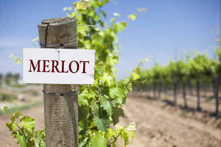 merlot: Merlot Sign On Post at the End of a Vineyard Row of Grapes.
