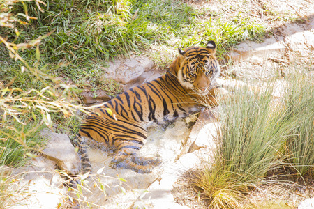 The Endangered Siberian Tiger Resting in the Cool Stream. photo