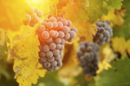 uvas: Viñedo con Lozano, uvas de vino maduras en la vid lista para la cosecha.
