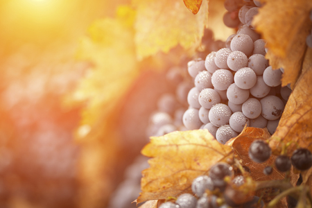 Lush, Ripe Wine Grapes with Mist Drops on the Vine Ready for Harvest. Banque d'images