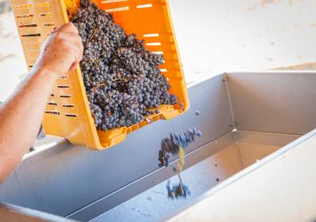 dumps: Vintner Dumps A Crate of Freshly Picked Red Grapes Into Processing Machine.