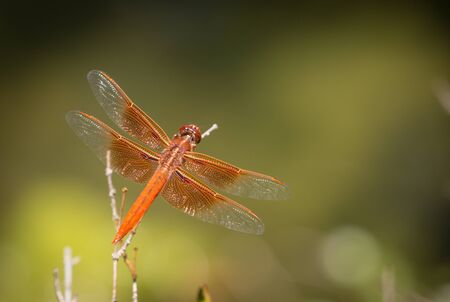 Orange Dragonfly Resting on Small Branch.