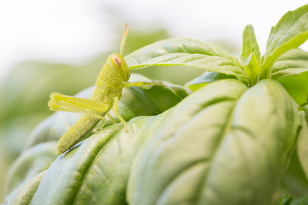 Beautiful Small Green Grasshopper Close-Up Resting On Basil Leaves. Imagens