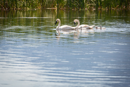 Family of Swan Swimming in the Water. 版權商用圖片