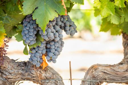 Winnica z bujnymi, dojrzałymi winogronami na winorośli gotowe do zbiorów.
