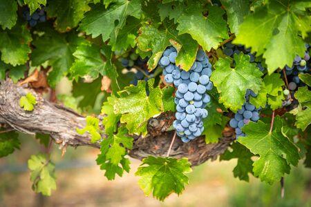 Üppige Weintrauben-Cluster, die an der Rebe hängen.
