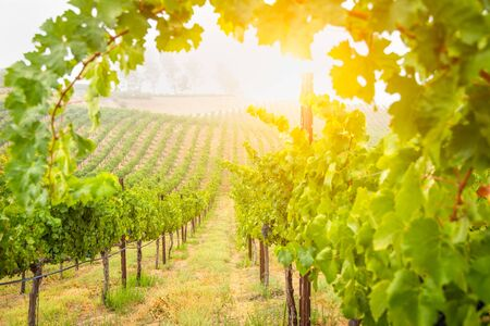 Beautiful Wine Grape Vineyard In The Morning Sun. Stock Photo