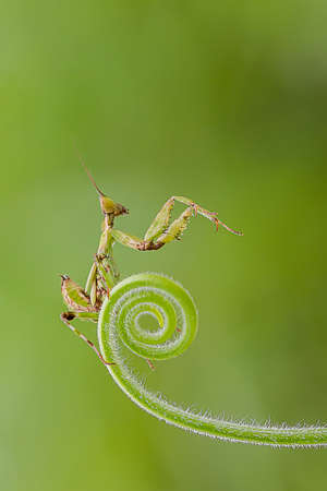mantodea: This praying mantis (Mantodea) is act like a great conductor