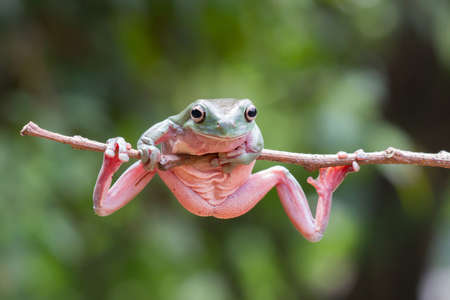A Tree frog almost fell down while he jumped on to a tree branch