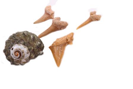 shark teeth: Los dientes de tibur�n y vieja c�scara en el blanco Foto de archivo