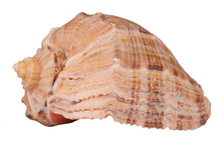 conch shell: The Conch Shell On the white background