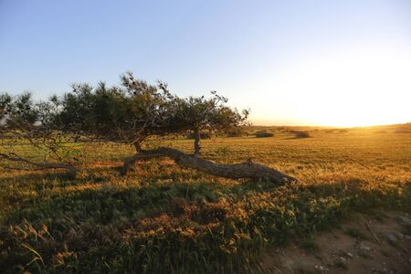cyprus tree: The wide field sunset in Cyprus. There is one alone tree. Stock Photo