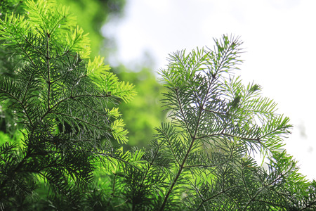 pinaceae: The pine tree and leaf from Turkey. Stock Photo