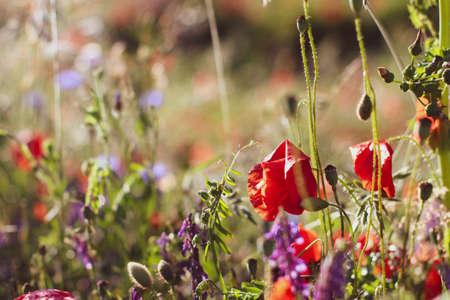 Wildflowers Lilacs Poppies, wheat fields Stock Photo