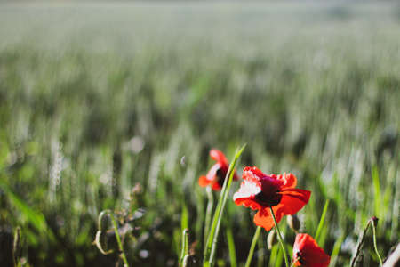 wheat fields with poppies in Germany