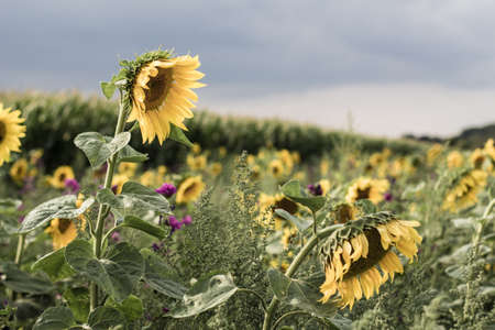A Sunflower patch next to a corn field in August hust before a thunderstorm hits