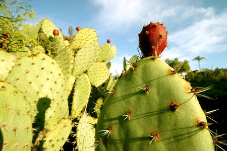 prickly: Prickly Pear Cactus (Opuntia) in San Diego on a sunny morning. Stock Photo