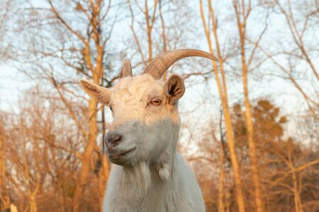 white goat grazes on green with interest looks into the camera lens