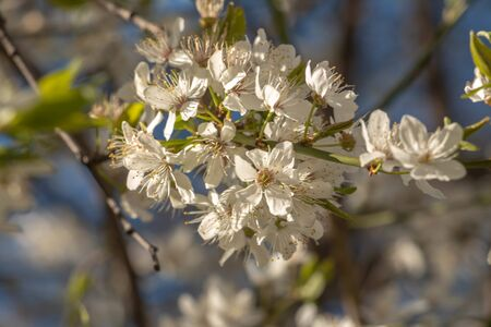 blooming plum blossom, with a bee feeding on its pollen, in spring when the fruit trees bloom fill all the fields with color Standard-Bild