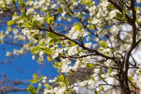 blooming plum blossom, with a bee feeding on its pollen, in spring when the fruit trees bloom fill all the fields with color