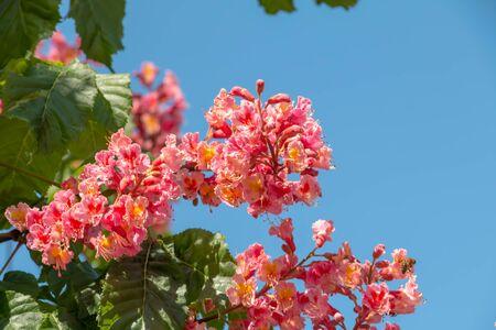 Pink flowers chestnut tree in spring. Chestnut blossom close up on blue sky background Zdjęcie Seryjne