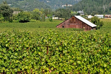 grape field: A barn structure in the middle of a wine grape  field