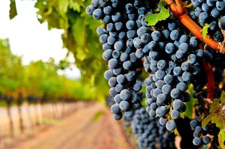 Wine grapes on the vine in a field are almost ripe Stock Photo