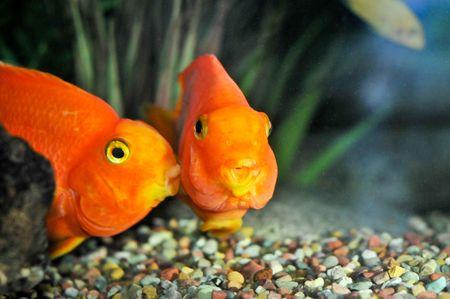 One goldfish is kissing another Zdjęcie Seryjne