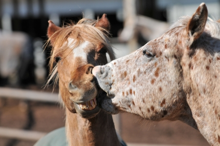 kissing mouth: Horses kissing with open mouth showing teeth