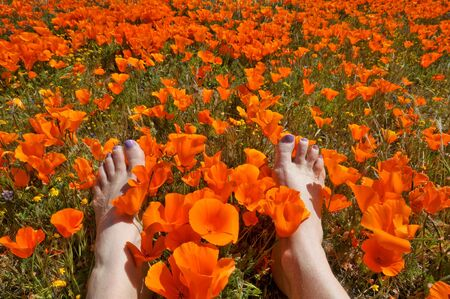 Two feet with purple toe nails in a field of California poppies Stok Fotoğraf - 6801402