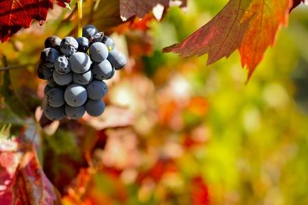 Uve da vino rosso sulla vite con foglie Archivio Fotografico - 11052873