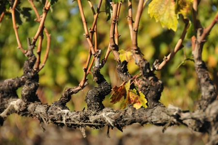 A wine grape vine with branches but no grapes.