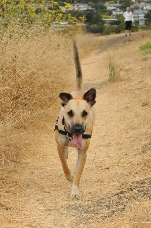 German Shepard puppy runs along a dirt path with owner in background