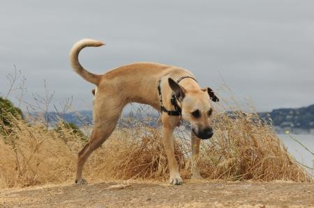 shepard: German Shepard puppy pees on grass along a dirt path